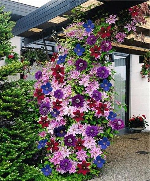 Многолетние вьющиеся цветы для сада