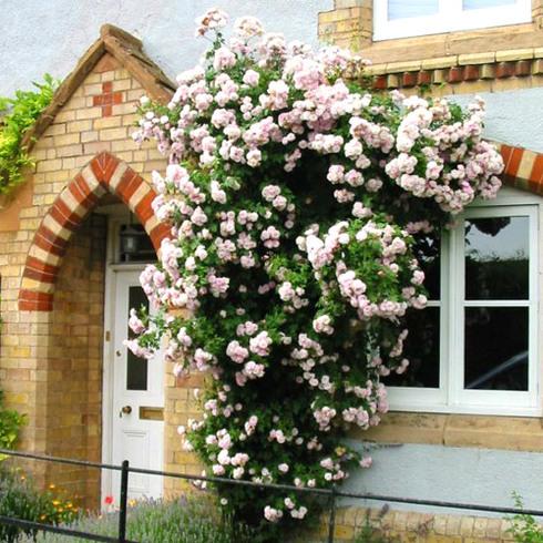 Роза плетистая в ландшафтном дизайне фото