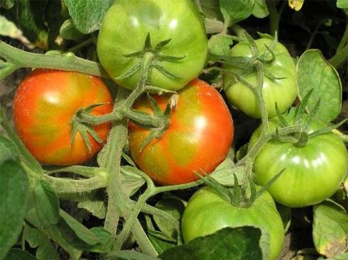 pomidory-01.jpg