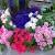 cvety-dlya-sada-balkona_7