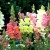 krasivye-mnogoletnie-cvety_4