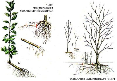 как посадить сливу осенью пошаговое руководство - фото 10